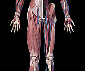 3D illustration of human limbs, hip and internal muscle layers with veins and arteries. Front view on black background.