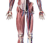 3D illustration of human limbs, hip and internal muscle layers with veins and arteries. Front view on white background.