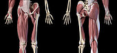 3D illustration of human limbs, hip and internal muscle layers. Front and rear view on black background.