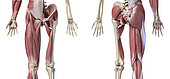 3D illustration of human limbs, hip and internal muscle layers. Front and rear view on white background.