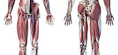 3D illustration of human limbs, hip and internal muscle layers with veins and arteries. Front and rear view on white background.