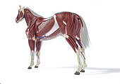 Muscular anatomy of a horse, over grey silhouette, side perspective on white background.