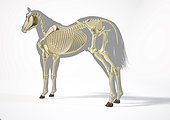Skeletal system of a horse over grey silhouette, side perspective on white background.