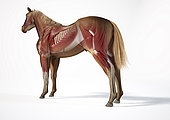 Muscular anatomy of a horse with ghost effect, side perspective on white background.
