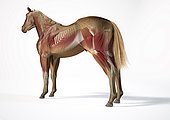 Muscular and skeletal system of a horse with ghost effect, side perspective on white background.