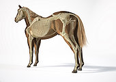 Skeletal system of a horse with ghost effect, side perspective on white background.