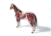 Muscular anatomy of a horse with with black outline, side perspective on white background.