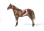 Muscular anatomy of a horse with cutaway effect, side view on white background.