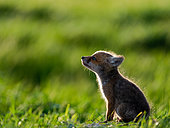 Red fox (Vulpes vulpes) young sitting in the grass, Slovakia