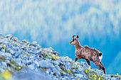 Alpine Chamois (Rupicapra rupicapra) at sunrise, Slovakia
