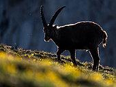 Alpine Ibex (Capra ibex) at sunrise, Slovakia