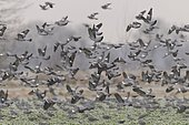 Common wood pigeons (Columba palumbus) Germany