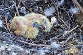 Newly hatched chicks of the urban pigeon in the nest, Switzerland, Europe