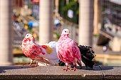Two colorful pigeons (Columba) in Placa Espanya, Barcelona, Spain, Europe