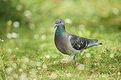 Domestic pigeon (Columba livia domestica) on a meadow, Bavaria, Germany, Europe
