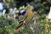 Orange-breasted green pigeon (Treron bicincta leggei), adult on the lookout, Udawalawe National Park, Sri Lanka, Asia