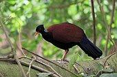 Pheasant pigeon (Otidiphaps nobilis), pheasant pigeon, adult, on tree, foraging, captive, New Guinea
