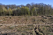 Logging in a coniferous forest for urbanisation, housing estate, Etupes, France