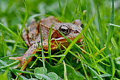European frog (Rana temporaria) on grass, France