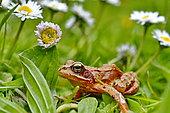 European frog (Rana temporaria) and lawn daisy, France