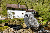 Tawny Owl (Strix aluco) chick just leaving the nest, Moulin de la Doue, Glay, Franche-Comté, France