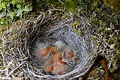 Grey Wagtail (Motacilla cinerea) nesting and hatching of chicks, France