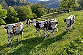 Herd of Montbeliarde cows grazing, Glay, Doubs, France