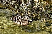 Mallard (Anas platyrhynchos), demale with ducklings, France