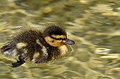 Mallard (Anas platyrhynchos), duckling on water, France