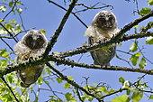 Long-eared owl (Asio otus), chicks having left the nest, France