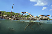 An Allosaurus swims in the river after a flood floods the plain. A coelacanth fish swims near the theropod.