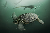 A gigantic Archelon sea turtle dives when it sees some mosasaurs in the distance.