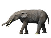Gomphotherium angustidens from the Miocene epoch of Europe