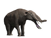 Platybelodon grangeri is a large mammal from the Late Miocene of Mongolia.