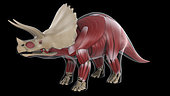 Muscular system of a Triceratops dinosaur, x-ray view.