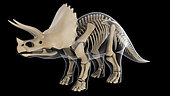 Skeletal system of a Triceratops dinosaur, x-ray view.