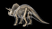 Skeletal system of a Triceratops dinosaur, x-ray rear view.