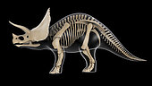 Skeletal system of a Triceratops dinosaur, x-ray side view.