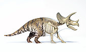 Triceratops morphing from skin to skeleton, isolated on white background