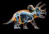 Triceratops skeleton with x-ray effect. perspective view on black background.