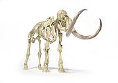 3D illustration of woolly mammoth skeleton. Side perspective on white background with drop shadow.