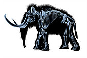 Woolly mammoth skeleton, x-ray effect on white background.