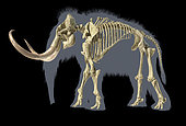3D illustration of woolly mammoth skeleton with grey silhouette. Side view on black background.