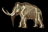 3D illustration of woolly mammoth with skeleton superimposed. Side view on black background.