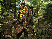 A six ton, 27 foot long Pentaceratops wonders a Cretaceous forest 75 million years ago in what is today the southwestern United States. . Like the better known Triceratops, Pentaceratops was a Ceratopsid, a large four-legged plant-eating dinosaur characterized by beaks, rows of shearing teeth in the back of the jaw, and elaborate horns and frills. While they resemble defensive shields, the frills are in fact relatively fragile, suggesting that they may have served a purpose other than protecting against a brute force attack. One possibility is that the frills were employed as visual displays in order to intimidate rivals and attract the opposite sex. While no color pigmentation has been preserved in the fossil remains of Ceratopsids, it's not unreasonable to suggest that they may have been very colorful, like many reptiles and birds today.