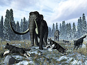 A pack of dire wolves crosses paths with two mammoths 150 thousand years ago during the Upper (Tarantian) Pleistocene Epoch in North America. A late fall dusting of snow heralds the coming winter. This was a period of glaciation known in North America as the Illinoian Stage when the Laurentide ice sheet covered much of the continent to a depth of 2 miles. . . The extinct Dire Wolf was closely related to the modern Gray Wolf, though is not the direct ancestor of known wolf today. The Dire Wolf was larger and stockier than the Gray Wolf with proportionally shorter legs. Mammoths were close relatives of modern elephants and approximately the same size, though Asian mammoths were somewhat larger than their American cousins. Mammoths had massive tusks. Both mammoths and dire wolves disappeared from the North American continent about ten thousand years ago.