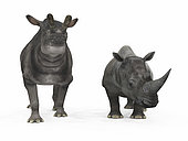An adult Brontotherium from 35 million years ago is compared to a modern adult White Rhinoceros (Ceratotherium simum). The Brontotherium is 8 feet tall at the shoulder and weighs 9,000 pounds*, while the White Rhinoceros is 6 feet tall at the shoulder and weighs 7,000 pounds. . * Values are estimates only based upon available paleontological data.