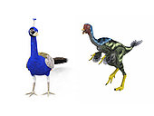 An adult theropod dinosaur of the genus Caudipteryx from 125 million years ago is compared to a modern adult peacock (Pavo cristatus). Both the Caudipteryx and peacock are about 30 inches tall. . * Values are estimates only based upon available paleontological data.