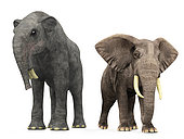 An adult Deinotherium from 7 million years ago is compared to a modern adult African Elephant (genus Loxodonta). The Deinotherium is 16 feet tall at the shoulder and weighs 17,000 pounds, while the African Elephant is 11 feet tall at the shoulder and weighs 10,000 pounds.