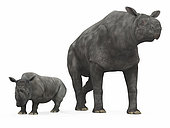 An adult Paraceratherium (AKA Indricotherium and Baluchitherium) from 30 million years ago is compared to a modern adult White Rhinoceros (Ceratotherium simum). The Paraceratherium is 18 feet tall at the shoulder and weighs 40,000 pounds*, while the White Rhinoceros is 6 feet tall at the shoulder and weighs 7,000 pounds. . Paraceratherium is the largest mammal known to have walked the Earth and are from an extinct family of hornless rhinoceroses that ranged across North America, Europe, and Asia from 60 to 20 million years ago. . * Values are estimates only based upon available paleontological data.